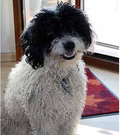 Spanischer Wasserhund Con Mucha Gracia Zuchter Von Spanischen Wasserhunden Perro De Agua Espanol